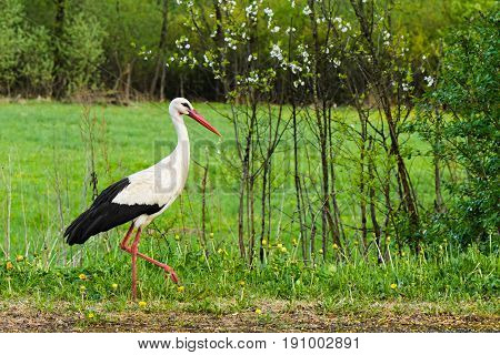 White Stork Ciconia Ciconia Walking In The Woods