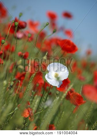 White poppy button with bloomed red poppy flower on the blurred sky background. Red beautiful wildflowers. Selective focus, vertical photo.