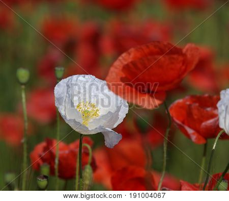 White poppy flower between red poppies on a meadow. Wild poppies among grass and wild flowers. Beautiful wild flowers.