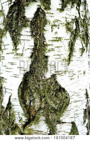 Birch bark beautiful black and white view