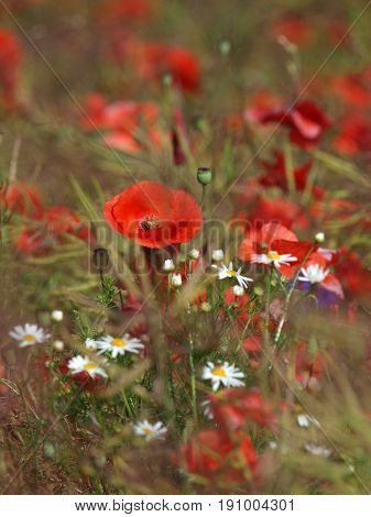 A natural bouquet of beautiful wildflowers: poppies, chamomiles, cornflowers. Poppy button with bloomed red poppy flowers. Poppy field.
