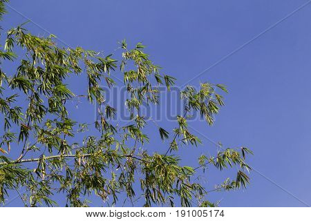 Bamboo bush with green leaves on blue sky. Bamboo leaf on sky. Asian nature zen photo background. Chinese floral garden. Bamboo natural wallpaper. Summer travel in Asia. Bamboo decor banner template