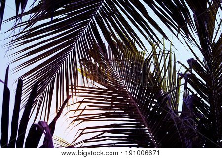 Coco palm leaf on sky background. Beautiful palm leaf photo with moody effect tone. Palm leaves ornate background. Tropical nature vintage print. Exotic vacation tourism banner. Zen wanderlust poster