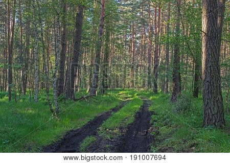 The photo shows a forested, unpaved road leading through a pine forest. Deep, muddy ruts are visible. The ground is covered with green grass. It is sunny day.