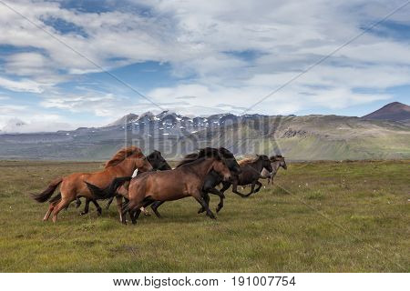 Group Of Beautiful Icelandic Horses Of Brown And Black Colors Running Fast With Their Manes Blowing