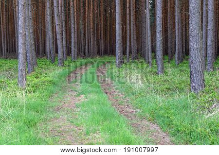 Photography shows a forested road. The road is not used much. Ruts cover the layer of brown needle. On both sides of the road and between the ruts grow green grass. The road leads through a tall, pine forest.
