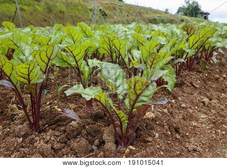 Save Download Preview Fresh green plants beet root beetroot soup in the ground on the field early hour in the spring garden.