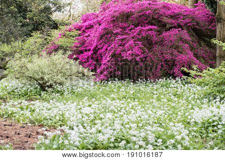 Spring Garden With Azalea And Wild Garlic