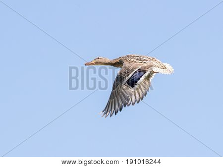 Female Mallard Duck In Flight Against Clear Blue Sky