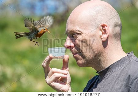 Hovering Robin About To Land To Get Mealworms From A Human Man