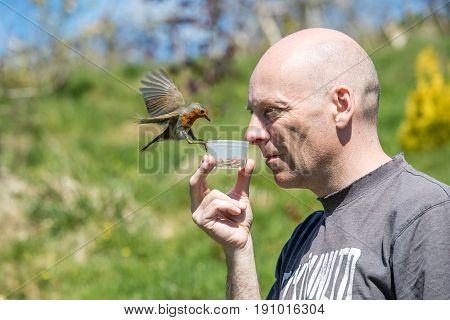 Brave Robin Landing On A Pot Of Mealworms Held By Human Man