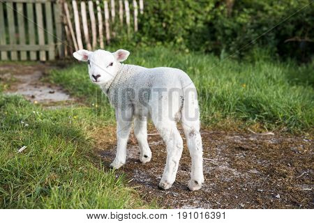Cute Lamb Walking Up The Garden Path