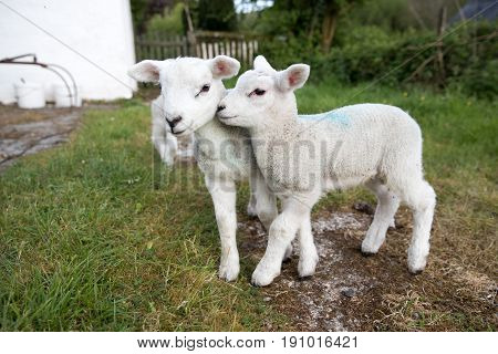 Cute Baby Lambs Close To Camera Outside On A Small Holding In Great Britain