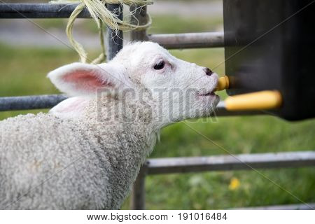 Young Lamb Feeding From An Artifical Teat Bucket Feeder