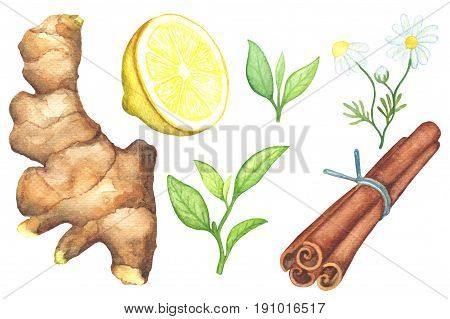 Green tea leaf and tea spices handdrawn illustration. Ginger root lemon cut chamomile cinnamon watercolor painting on white background. Summer drink. Green tea clipart. Summer beverage ingredient