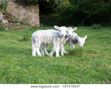 Three Young Lambs Stood Together In A Farmers Field