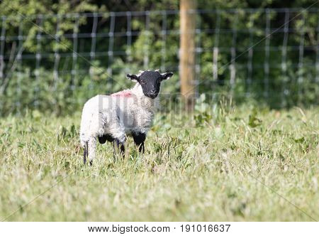 Young Lamb With A Black Head In A Field Of Long Grass