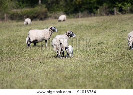 Adult Sheep With Lambs In A Field