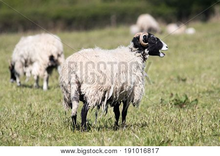 Adult Swalesdale Sheep In A Field Of Grass