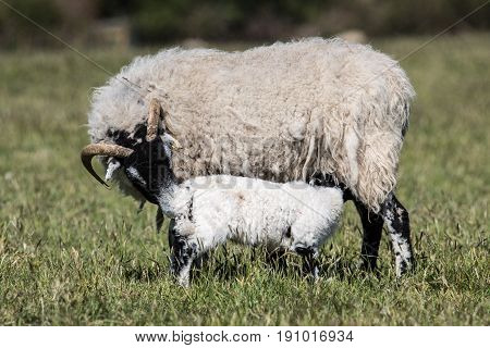 Ewe Sheep With A Suckling Lamb In A Grassy Field