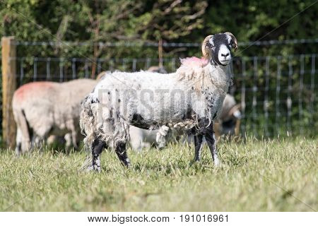 Partial Shearing Sheep In A Field