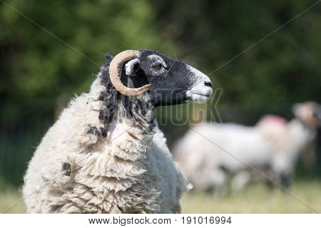Sideview Of An Adult Sheep With Black Head And Horns