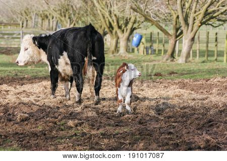 Mother Cow With Calf Stoof On Hay Outside In A Field On A British Farm