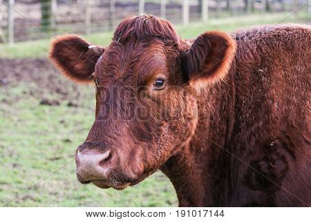 Close Up Of The Head Of A Cow Outside In A Field