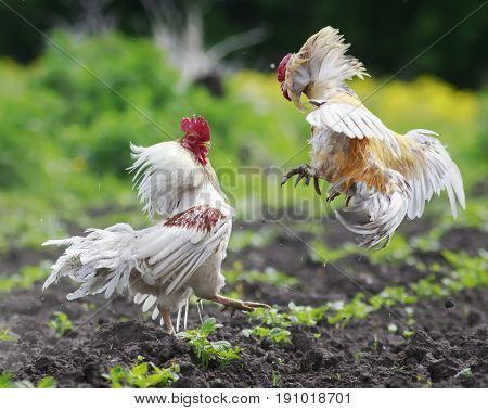 two angry cocks fighting to spread its wings and feathers and flying high