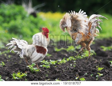 two jaunty rustic rooster fighting spread its wings and feathers and flying high on the farm yard