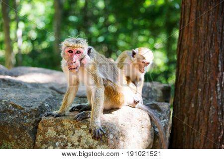 Monkeys sitting on stone, buddha temple on Ceylon