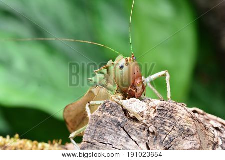 Dragon headed katydid moves around in its environment