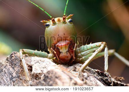 A close up of a Dragon headed Katydid