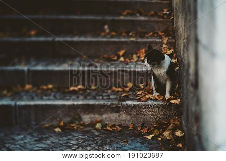 True tilt-shift view of black and white street cat sitting on step of stairway on dry autumn leaves and looking aside with copy space for text your logo or other advertising messages