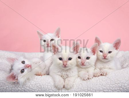 Five fluffy white kittens laying in an off white sheepskin bed looking forward pink background.