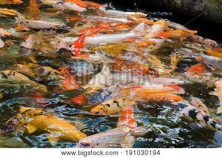 Asian Koi Carps Swimming In The Water