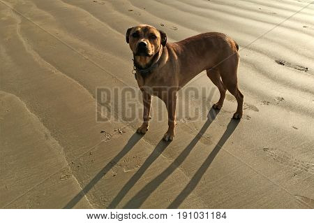 Brown American Bandogge Mastiff