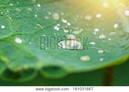 Lotus Leave Or Lily Pad With Big Water Drops From Rain.