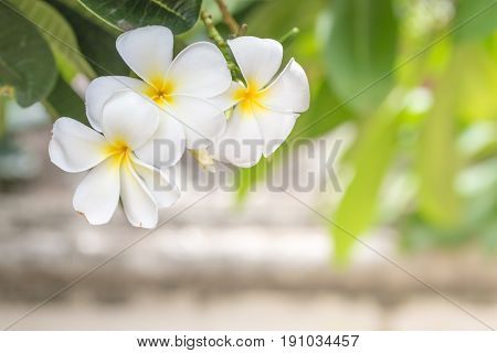 Green Beautiful Plumeria Flower With Clear Light In Sunny Day.