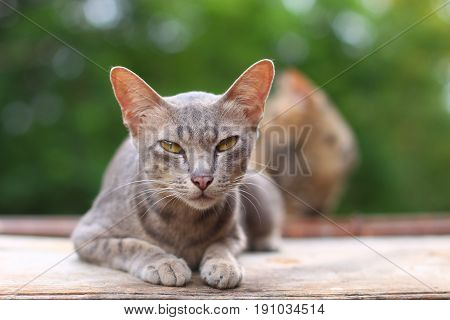 Sleepy grey cat on the wooden floor with blur green background of the trees