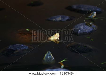 Head of a turtle over the dark water of tortoise pond