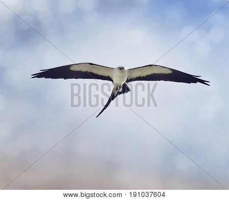 Swallow-tailed Kite (Elanoides forficatus) in flight with a grasshopper