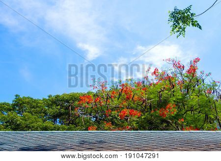Gray tiled roof and flowering Flamboyant flowers