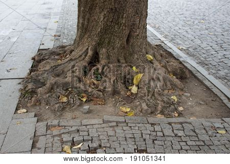 Old tree in the bricks. The roots of this tree sprawls along the surface of the sidewalk. Lonely tree in city