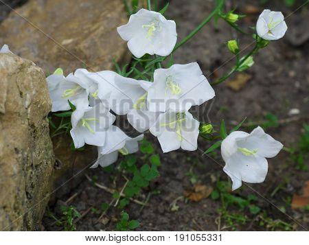White Campanula flower Macro closeup white bellflower on stone background.