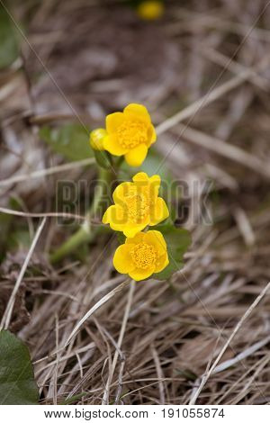 Beautiful Yellow  Kingcup Flowers On A Natural Background In Spring. Mala Fatra Mountains In Slovaki