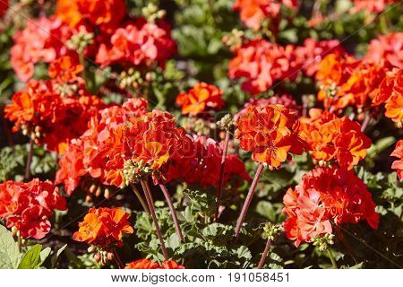 Red blossom geraniums in the garden. Nature background. Spring