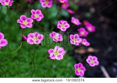 Herbaceous perennial Saxifraga arendsii pink flowers on green foliage in the garden. Selective focus.
