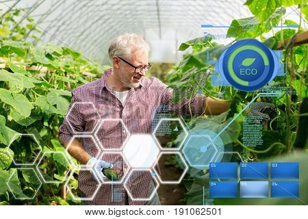 organic farming, gardening, agriculture, old age and people concept - senior man harvesting crop of cucumbers at greenhouse on farm