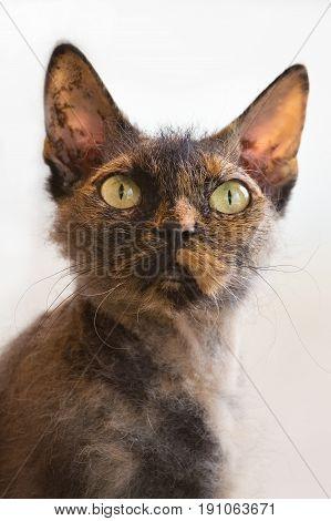 Curious cat breed Cornish Rex cat close-up